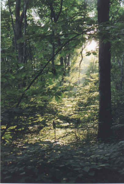Sunlight filtering through the timber at Funks Grove
